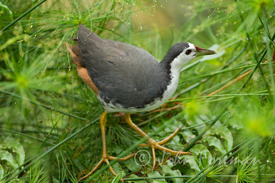 White breasted waterhen, Singapore