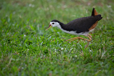 White-breasted Waterhen, Singapore