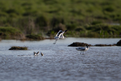 Avocets, Tollesbury Marshes