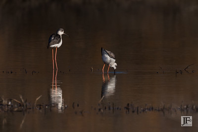 Black-winged Stilts, Rio Guadalhorce