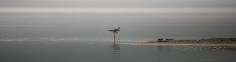 Black-winged Stilt, Chambal