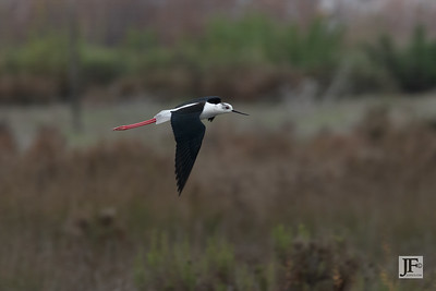 Black-winged Stilt, Laguna De Fuente De Piedra