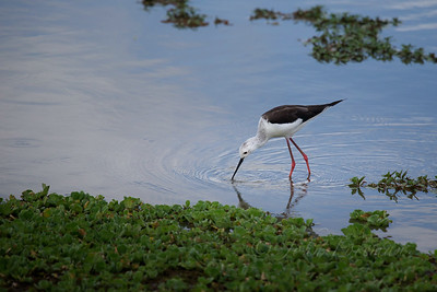 Black-winged Stilt, Selous
