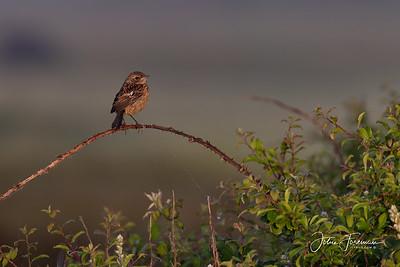 Juvenile Robin, Keyhaven