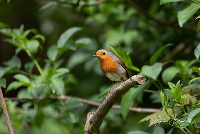 Robin, Horsham
