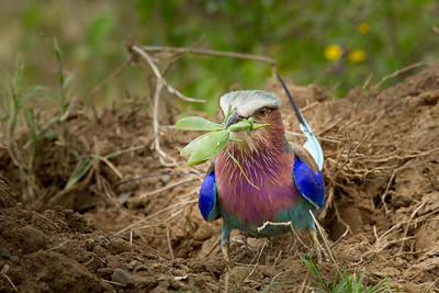 Lilac breasted Roller, Masai Mara