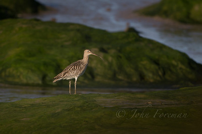 Curlew, Tollesbury Marshes