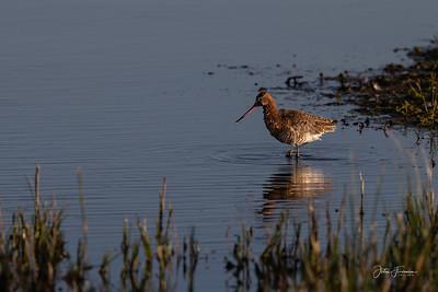 Bar-tailed Godwit, Keyhaven