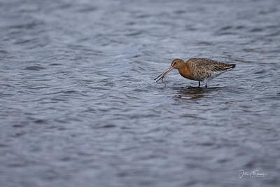 Bar-tailed Godwit, Poole