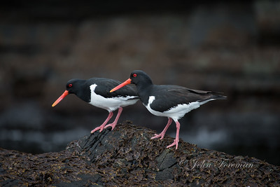 Oyster Catchers,  Isle of Man