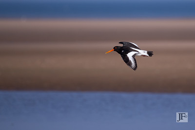 Oyster Catcher,  Holkham
