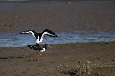 Oyster Catchers,  Brancaster