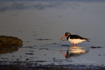 Oyster Catcher,  Hengistbury Head