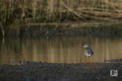 Redshank, Mudeford