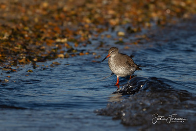 Redshank, Hengistbury Head