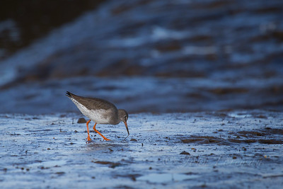 Redshank, Norfolk