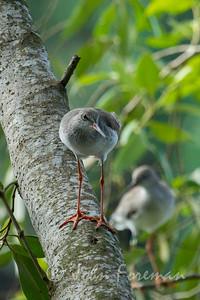 Redshank, Sungei Buloh