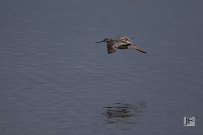 Spotted Redshank, Brownsea Island