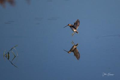 Snipe, Lackford Lakes