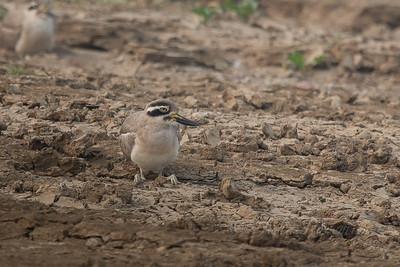 Thick-knee, Chambal