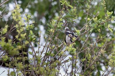 White-crested Helmet-shrikes, Selous