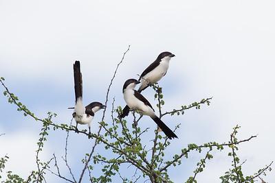 Long tailed Fiscal Shrikes, Selous