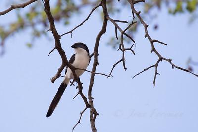 Long tailed Fiscal Shrike, Selous