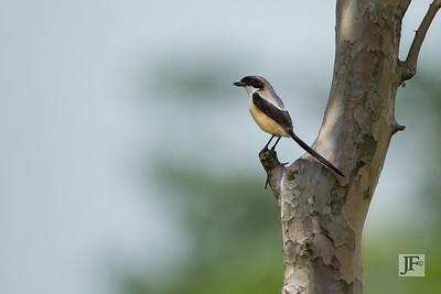 Long-tailed Shrike, Singapore