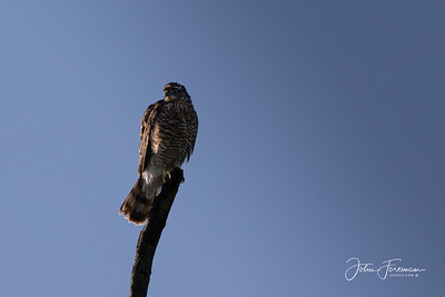 Juvenile Sparrow Hawk, Chippenham Fen