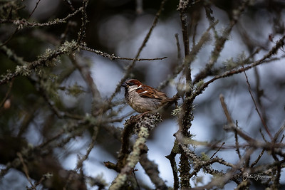 House Sparrow, New Forest
