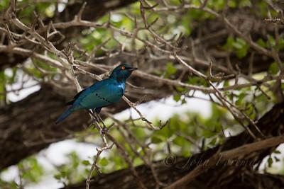 Lesser blue-eared starling, Selous