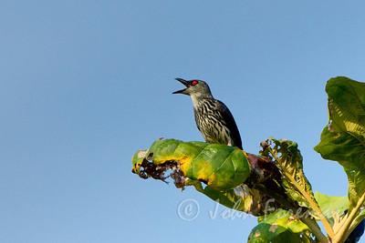 Asian Glossy Starling, Pulau Ubin