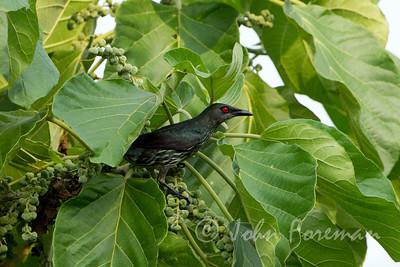 Asian Glossy Starling, Juvenile, Pulau Ubin