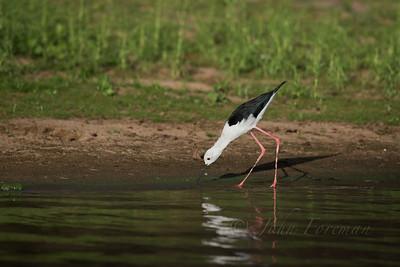 Black-winged Stilt, Selous