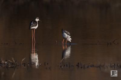 Black-winged Stilts, Rio Guadalhorce
