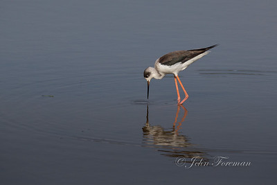 Black-winged Stilt,