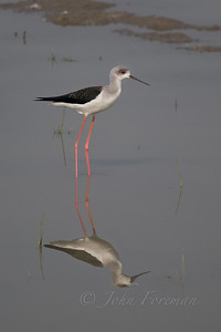 Black-winged Stilt, Rajisthan