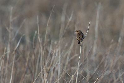 Female Stonechat, Suffolk