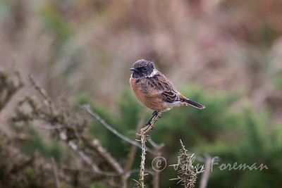 Young male Stonechat, Dorset