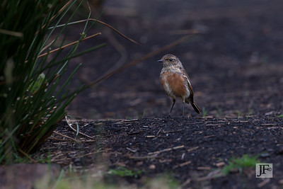 Young female Stonechat, Peak District