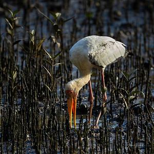 Milky Stork, Sungei Buloh