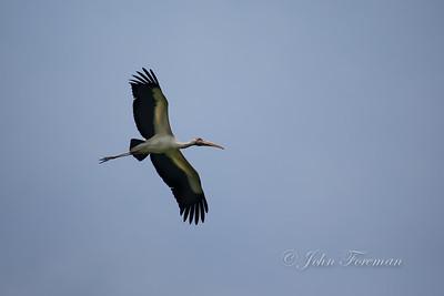 Milky Stork, Pulau Rambut