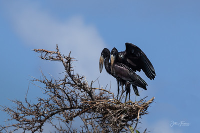 Open billed storks, Mafia Island