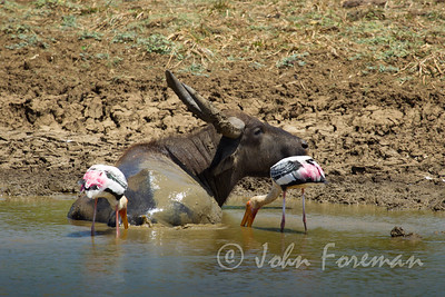 Painted storks & Water buffalo, Yala