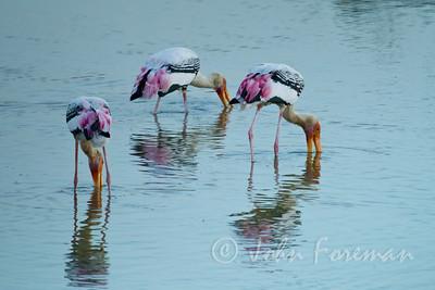 Painted storks, Yala