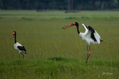 Saddle-billed Storks, Masai Mara