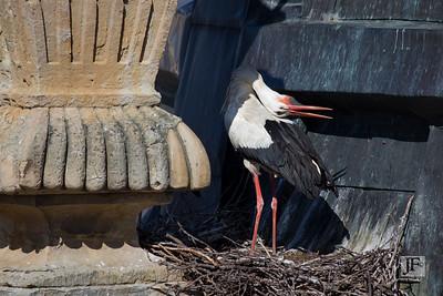 White Stork, Salamanca