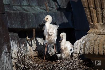 White Storks, Salamanca