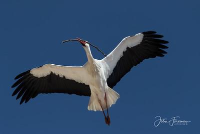 White Stork, Villacastín