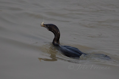 Indian Cormorant, Rajasthan